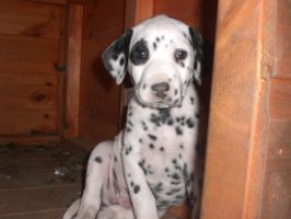 Patch - Dalmation Puppy by Sk8rWolf