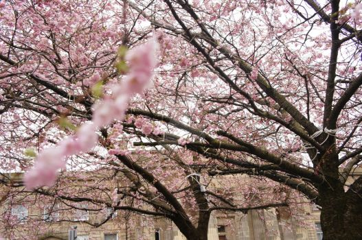 Cherry Blossom in Glasgow by Power-Barbie