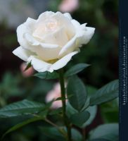 White Rose II by kuschelirmel-stock