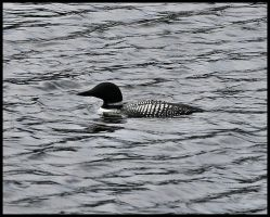 Cropped Loon by NOS2002