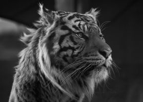 Siberian Tiger by h-e-photography