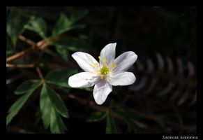 Anemone nemorosa by throwntothewolves