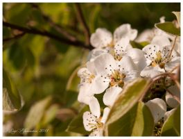 Pear blossoms by Vampirbiene