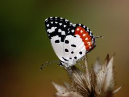 Red Pierrot by ilovelost456