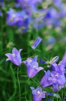 bellflowers in violet and blue by wolfish-fang