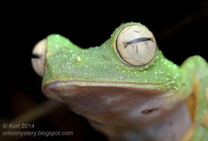 Wallace's Flying Frog (IMG 4258 stk copy) by orionmystery