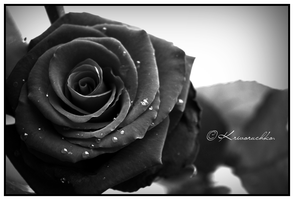 Red Rose in Black Style. by Lapapunk