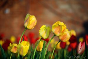 Tulips by dotcypress