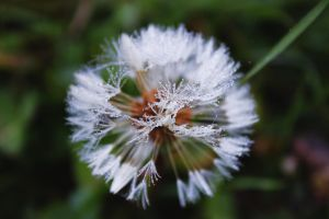 Dandelion with raindrops by BunnyHanny