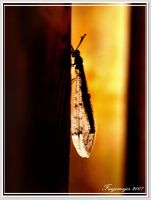 insect in light by fuegomujer