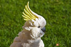 Sulphur Crested Cockatoo 181 by chezem