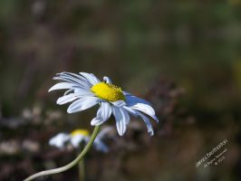 A Daisy's Little Visitor by jim88bro