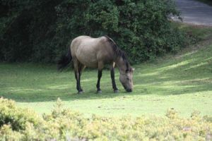 New forest horse 002 by eldris-stock