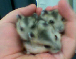 Baby hamsters by Pameloo