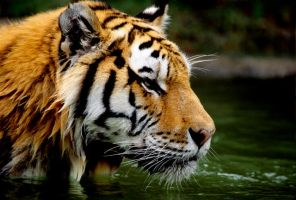 Tiger in Water 2 by Art-Photo