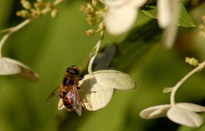 Hoverfly by 3dchris89