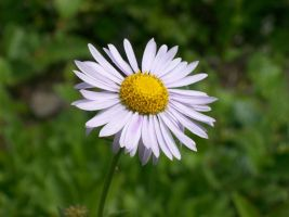 Mt. Rainier English daisy by bonri