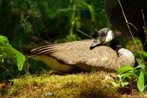 Canada Goose: Resting in the Sun by Flame-of-the-Phoenix