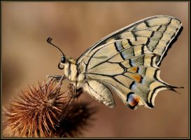 Papilio Machaon Syriacus by sapog