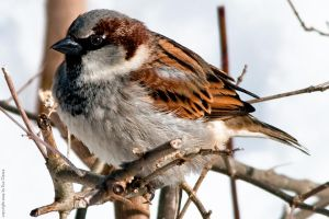 The Mighty Sparrow by EyeDance