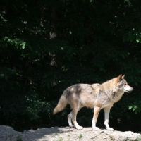 Wolf II by mimose-stock