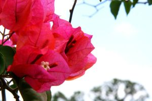 Bougainvillea by Kyra57