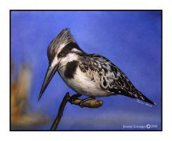 Pied Kingfisher by Novastar2486