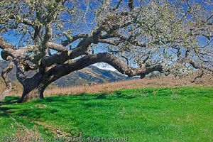 Garland Ranch Oak 837 by hfpierson