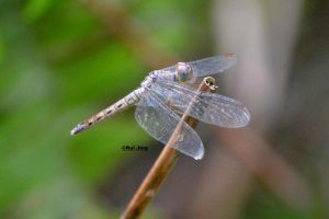 Dragonfly (Sliver and grey) by GreenNexus51