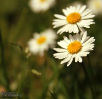 Daisy Time by Clerdy