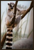 Ring Tailed Lemur by mariquasunbird1