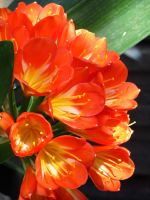 Clivia Flowers by Kitteh-Pawz