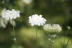 QUEEN ANNE'S LACE II by zraclooc