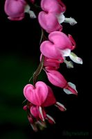 Bestill My Bleeding Heart by UffdaGreg