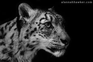 Snow Leopard 02 by Alannah-Hawker