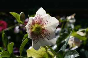 hellebore 2 by evelynzee