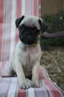 Grizzly the Pug Puppy by icantthinkofaname-09