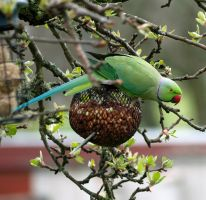 Ring necked parakeet by piglet365