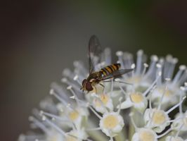 Fatsia japonica and bee0093 by osam-devet