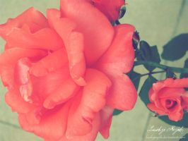 Pink rose by LuckyPsych