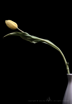 Yellow Tulip by Ta3abeer