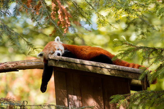 Tired panda. by Ravenith