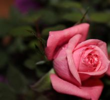 Pink Rose with Water Drops by emilymhanson