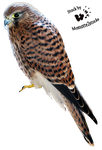Cut-out stock PNG 11 - Nice kestrel by Momotte2stocks