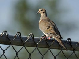 Dove on a fence by masscreation