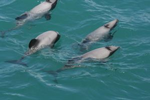 4 Dolphin by Mortitia212