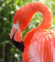 American Flamingo by lenslady