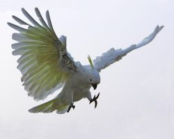 Sulphur Crested Cockatoo 34 by chezem
