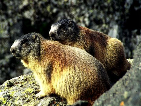 Two marmots by edelweiss26
