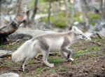 Arctic fox stock 16 by GrayeyesStock